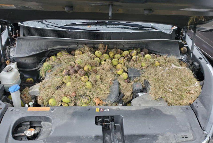 Из под капота извлекли несколько сотен орехов